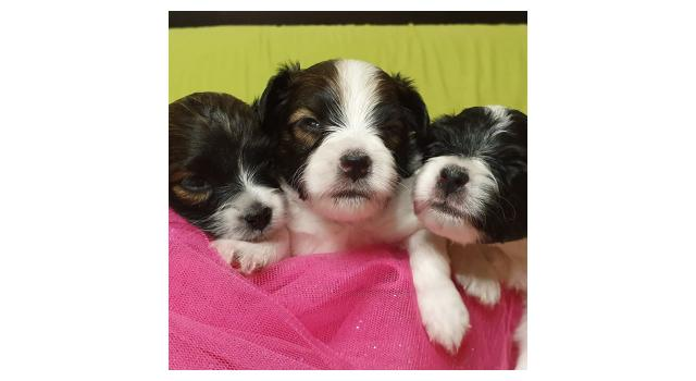 Puppies of papillon in Bon Plaisir Kennel